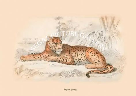 Fine art print of the Jaguar, young by Sir William Jardine (1834)